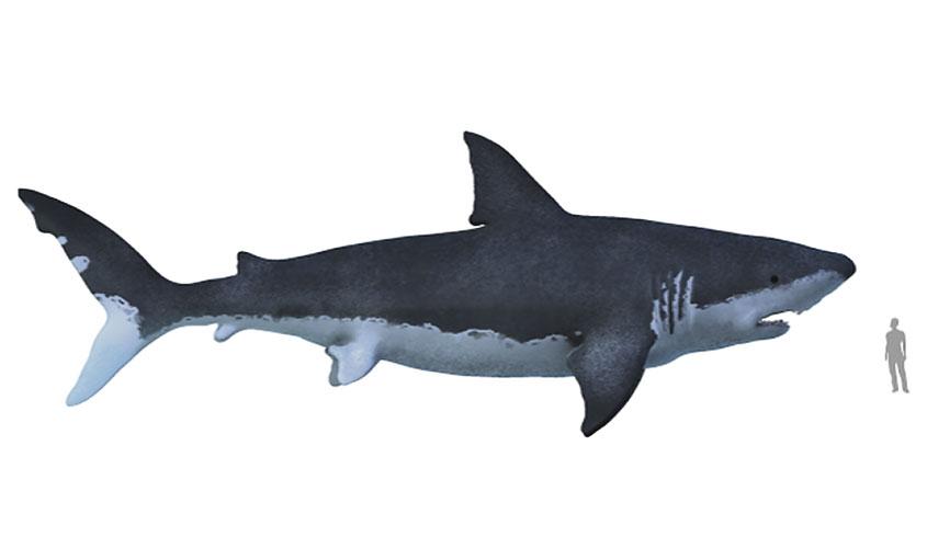 Der Haifisch